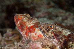 BD-140322-Panglao-3112-Synodus-variegatus-(Lacepède.-1803)-[Variegated-lizardfish].jpg